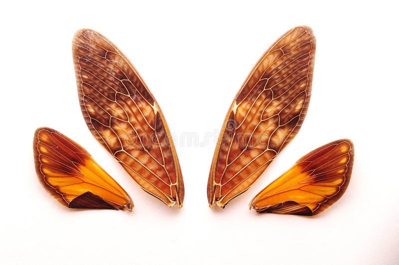 De vleugels van een cicade stock foto