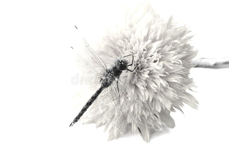 De vlieg b/w van de draak royalty-vrije stock afbeelding