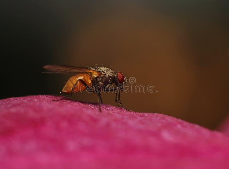 De vlieg in het profiel op het rode bloemblaadje van een bloem Op een donkere bruine achtergrond royalty-vrije stock foto