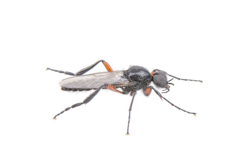 De vlieg met lang betaalt op een witte achtergrond stock afbeelding