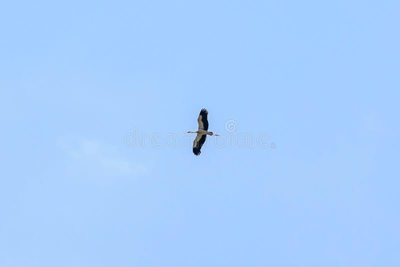 De vlieg van de aigrettevogel op de blauwe hemel stock afbeelding