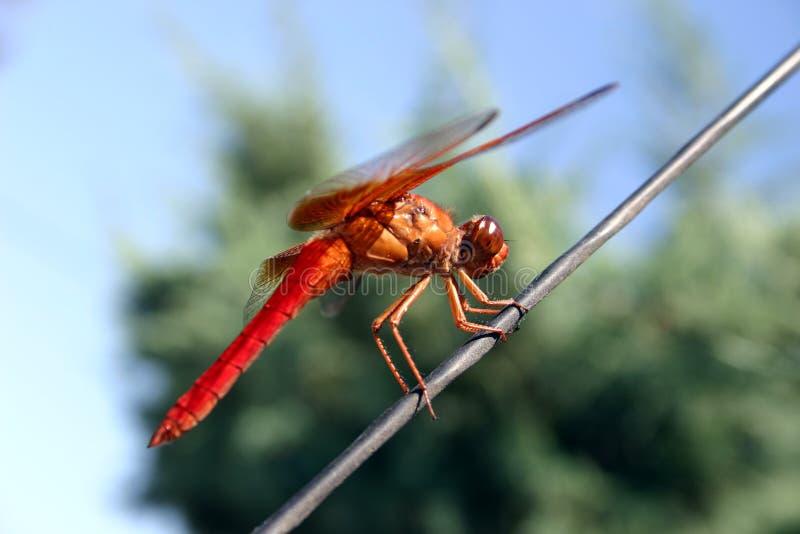 De Vlieg van de draak stock foto