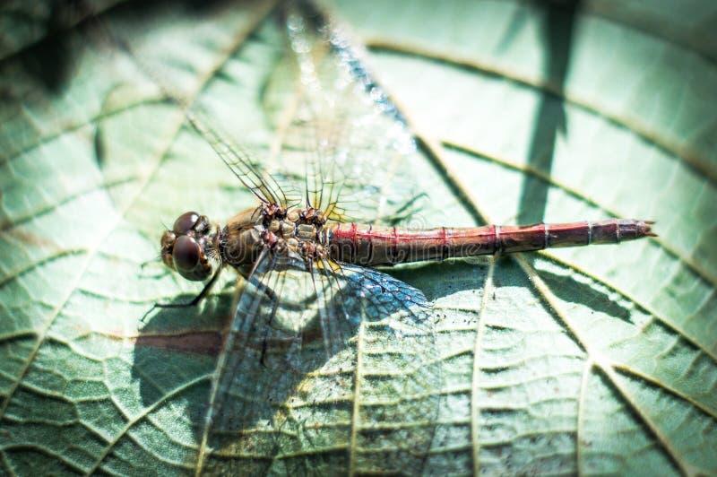 De vlieg van de draak op groen blad royalty-vrije stock fotografie