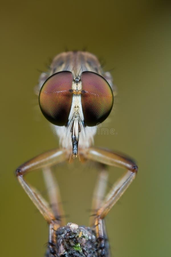 De vlieg van de rover van aangezicht tot aangezicht stock afbeeldingen