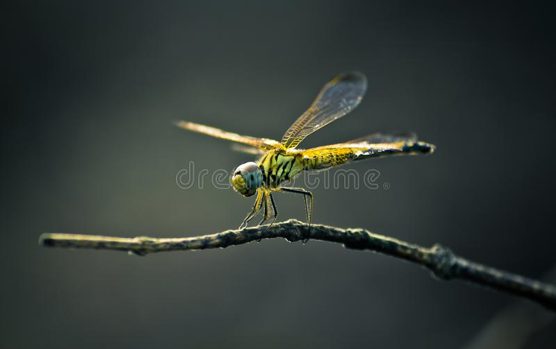 De vlieg van de insectdraak op een boomtak royalty-vrije stock afbeelding