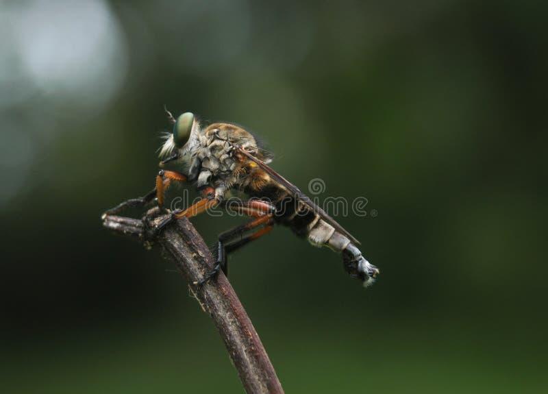 De vlieg van de rover royalty-vrije stock foto's