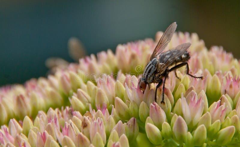 De vlieg van Sarcophagacarnaria op een sedumbloem stock foto's