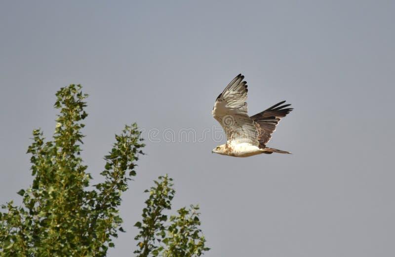 de vliegen van adelaarsculebrera over de hemel royalty-vrije stock afbeelding