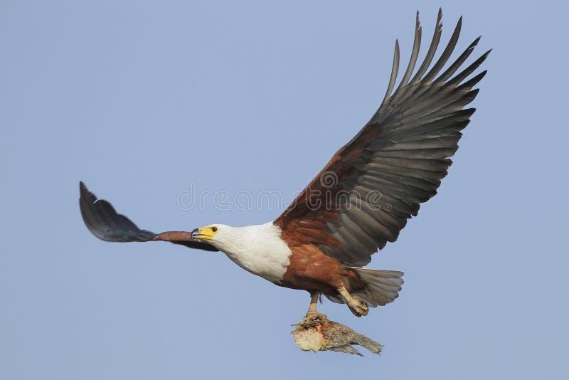 De vliegende Afrikaanse Adelaar van Vissen met vissen