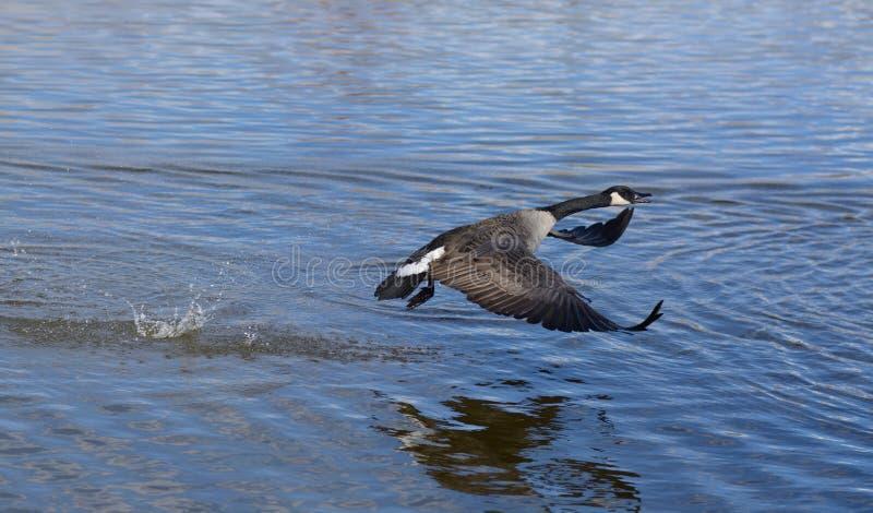 De vliegende Gans van Canada stock foto