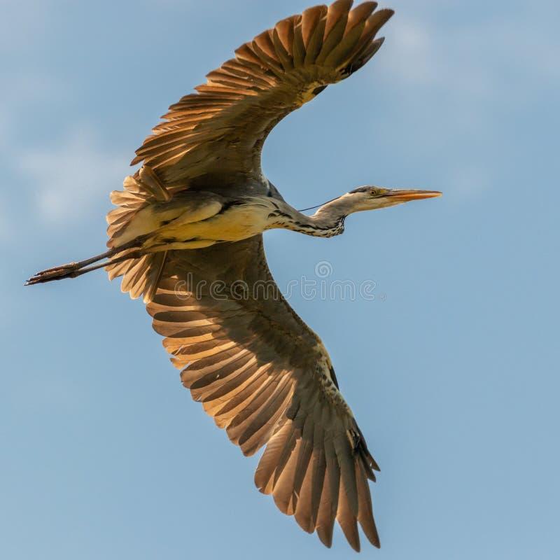 De vliegende Reiger met groot vleugel-stelt royalty-vrije stock foto