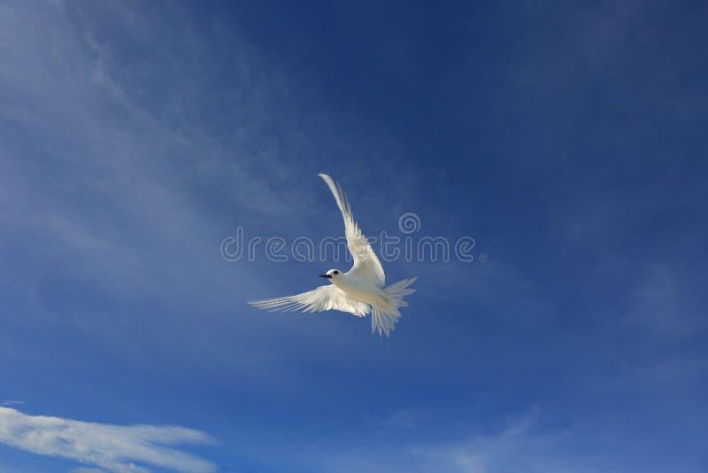 De vliegende Vogel van de Feestern stock afbeeldingen