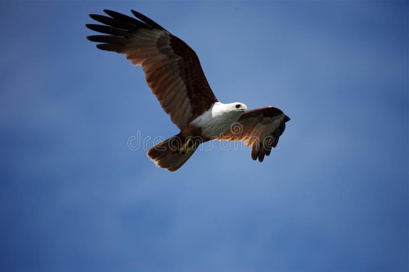 De Vlieger van Brahminy tijdens de vlucht stock fotografie