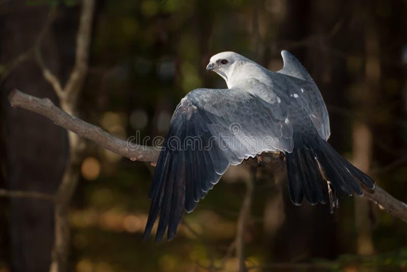 De Vlieger van de Mississippi stock foto
