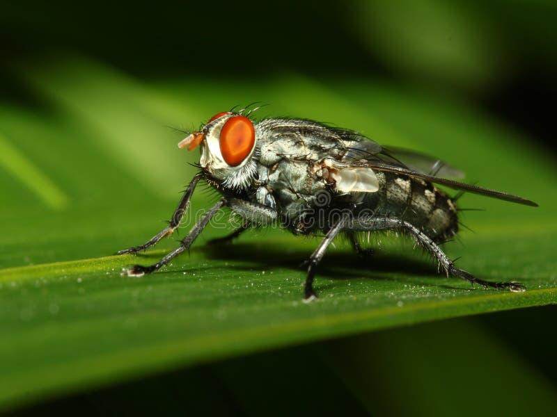 De vliegmacro van het insect stock foto's