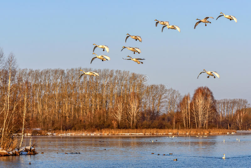 De vliegvogels van het zwanenmeer stock afbeeldingen