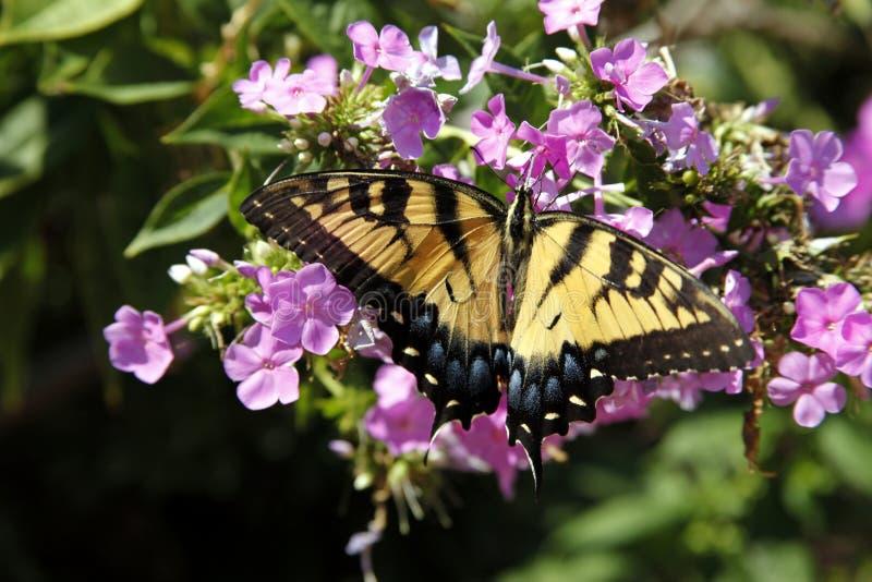 De vlinder stock foto's