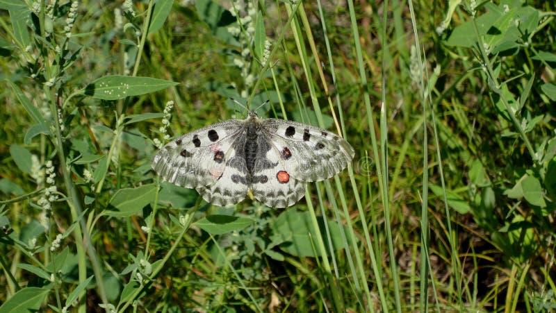 De vlinder Apollo zit op een blad in de aard stock afbeelding