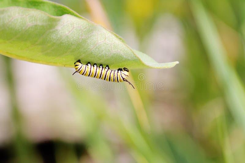 De Vlinder Caterpillar van de monarch stock afbeelding