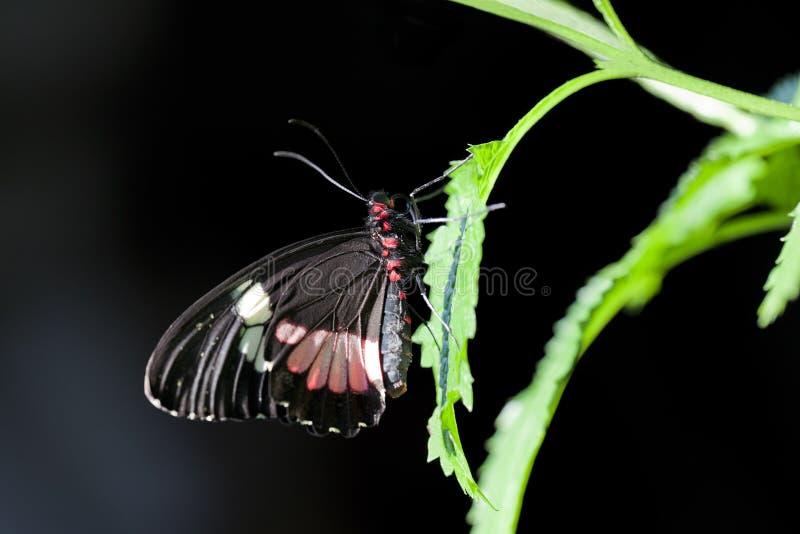De Vlinder Cattleheart van Centraal-Amerika stock afbeeldingen