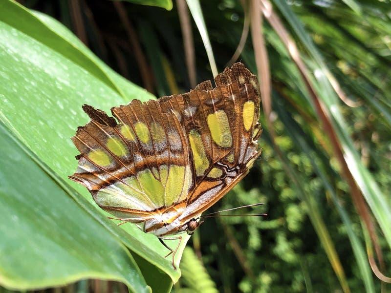 De vlinder of Der Malachitfalter Schmetterling Metamorpha van het Siproeta stelenes Malachiet stelenes, Bloemeiland Mainau stock afbeelding