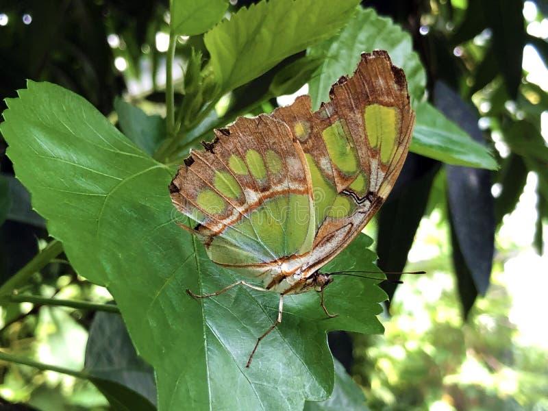 De vlinder of Der Malachitfalter Schmetterling Metamorpha van het Siproeta stelenes Malachiet stelenes, Bloemeiland Mainau stock foto