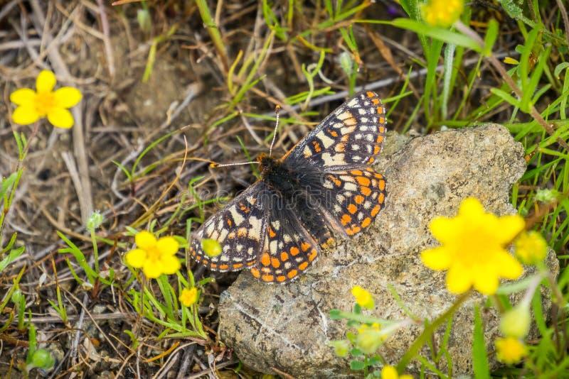 De vlinder die van baaicheckerspot (bayensis van Euphydryas Editha) op een rots rusten; geclassificeerd als federaal bedreigde sp stock afbeeldingen