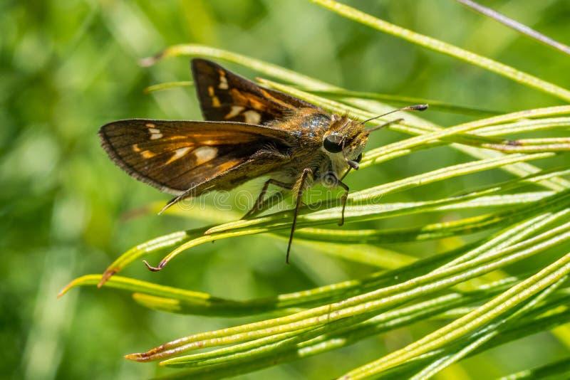 De Vlinder die van de spinnewebkapitein boven op grassprietjes rusten stock foto