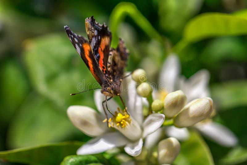 De vlinder drinkt nectar van een oranje boombloem stock foto