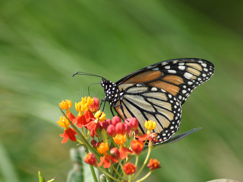 De Vlinder en de Bloemen van de monarch stock foto