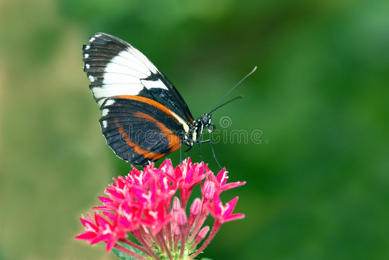 De vlinder Longwing stock foto