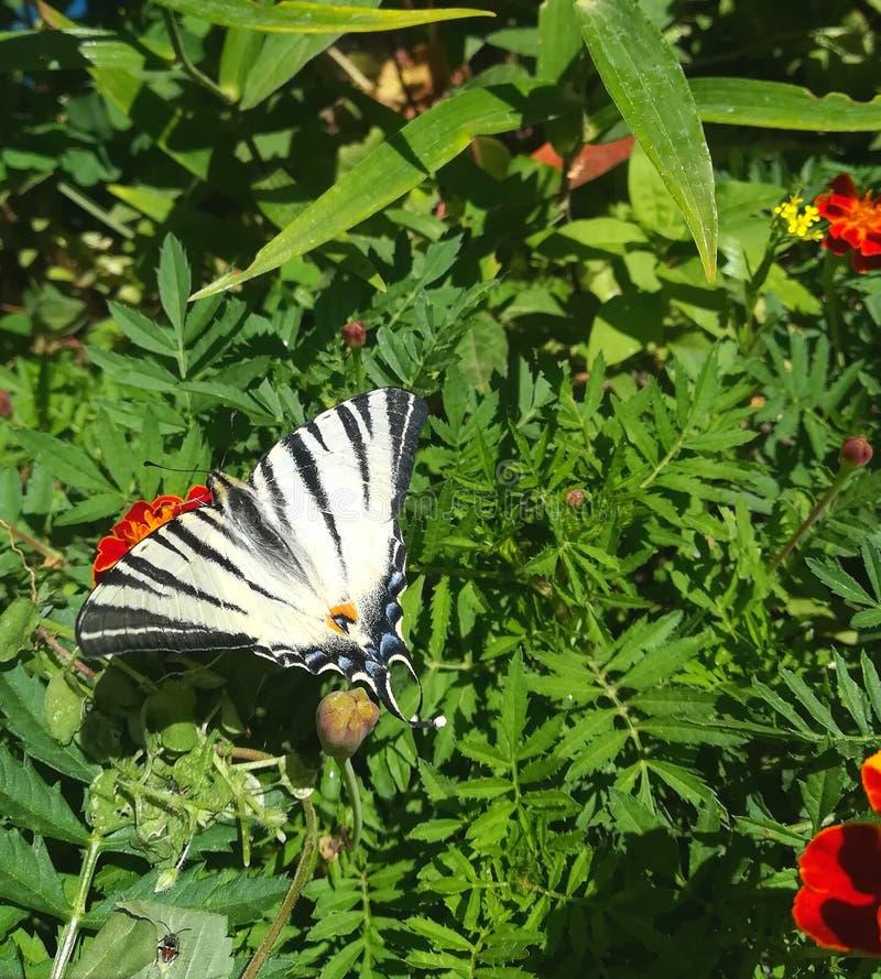 De vlinder machaon zit op bloemen en groen de tuinpark van de bladerenzomer stock foto's