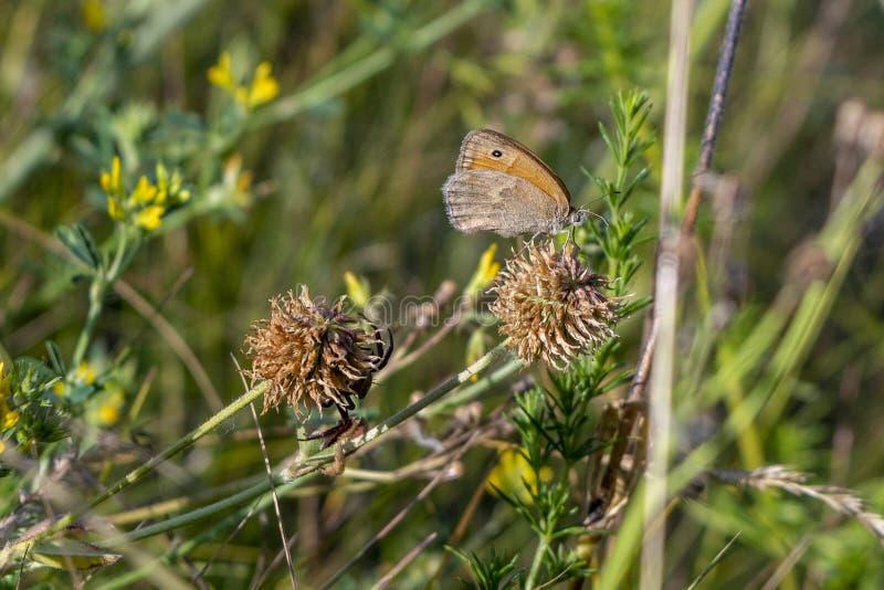 De vlinder merkt niet de gevaarlijke buur van de spin op stock afbeeldingen