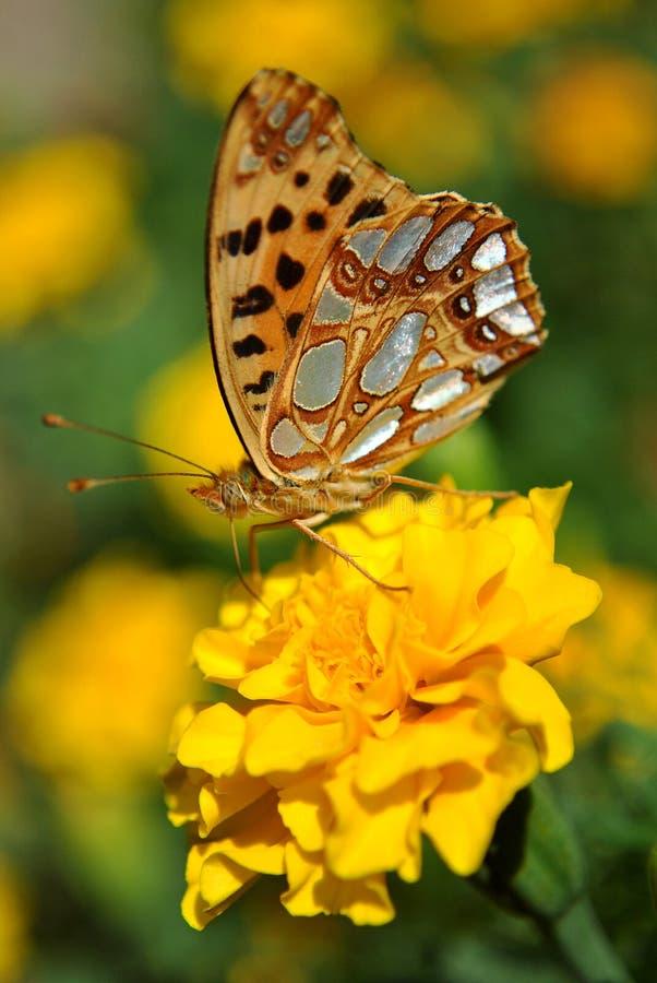De vlinder op een gele bloem royalty-vrije stock foto's