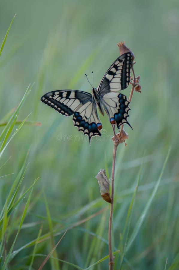 De vlinder Papilio machaon spreidde zijn vleugels op een de zomerdag uit, zonnebadend in het droge gras royalty-vrije stock foto's
