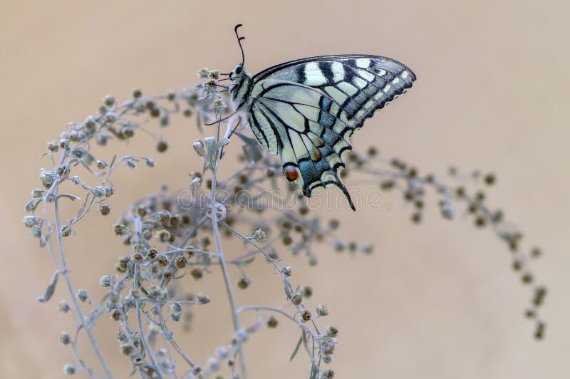 De vlinder Papilio machaon spreidde zijn vleugels op een de zomerdag zonnebadend uit in het droge gras royalty-vrije stock afbeelding