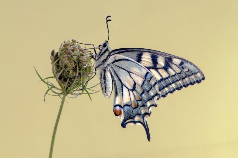 De vlinder Papilio machaon stock afbeeldingen