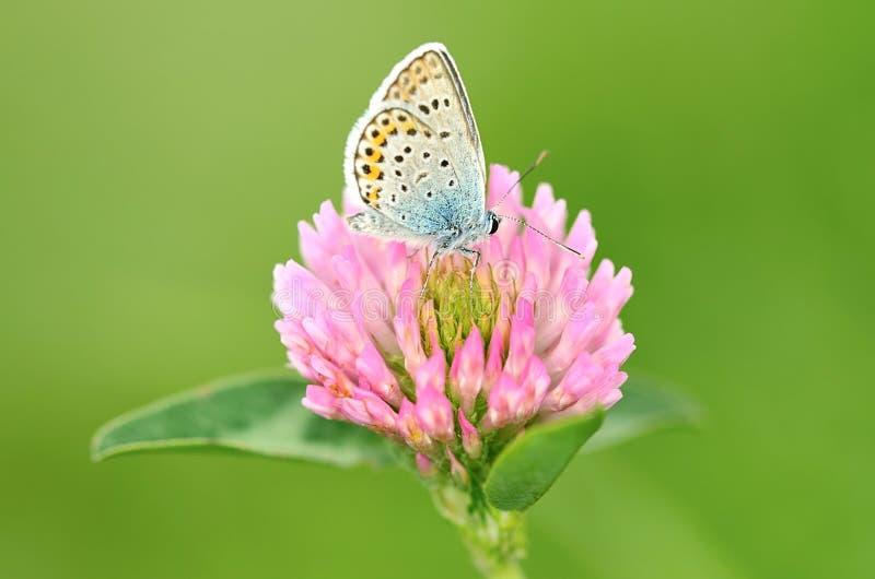 De vlinder rust op de klaverbloem royalty-vrije stock foto