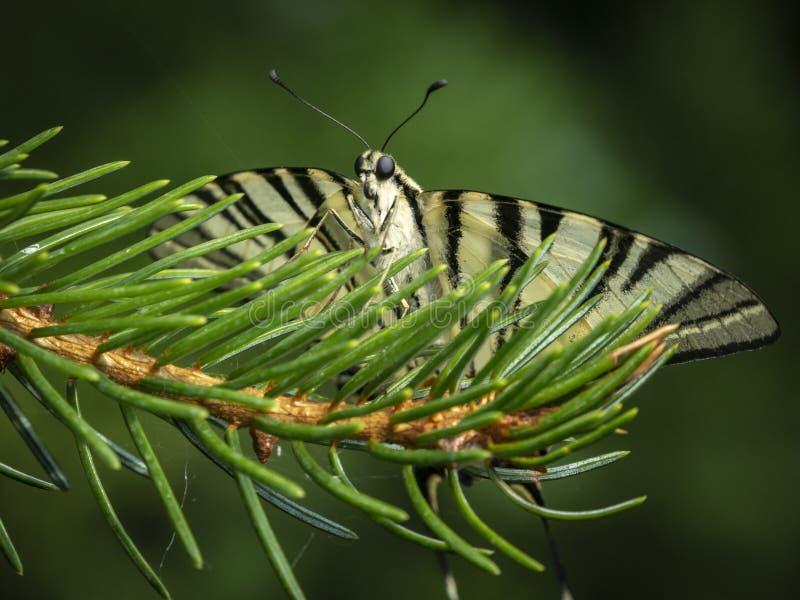 De vlinder swallowtail Podalirius zit het onder ogen zien van de camera stock foto's