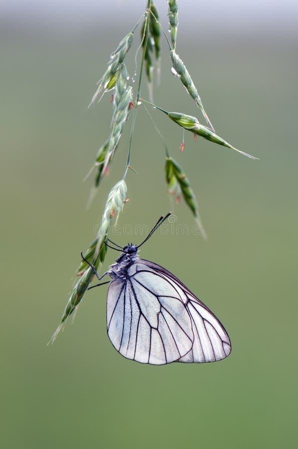 De vlinder van Aporiacrataegi op een witte wilde bloem vroeg in de ochtend royalty-vrije stock fotografie