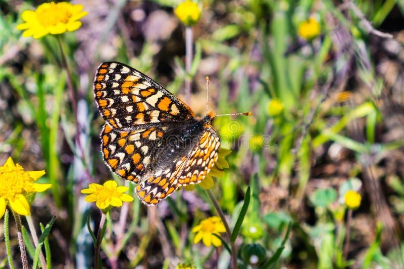 De vlinder van baaicheckerspot (bayensis van Euphydryas Editha) op een goudveld wildflower; geclassificeerd als federaal bedreigd royalty-vrije stock foto's