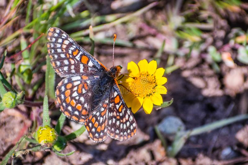 De vlinder van baaicheckerspot (bayensis van Euphydryas Editha) op een goudveld wildflower; geclassificeerd als federaal bedreigd stock afbeelding