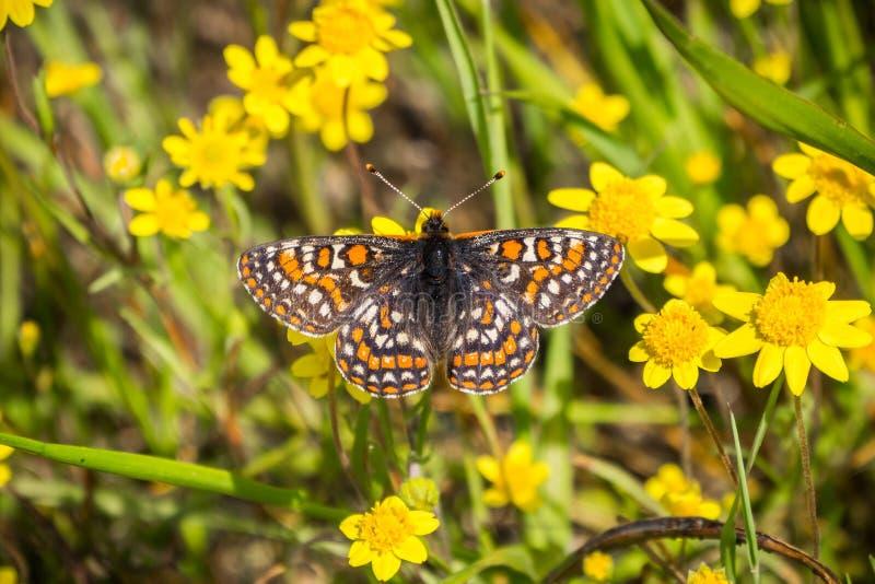 De vlinder van baaicheckerspot (bayensis van Euphydryas Editha) op goudveldwildflowers; geclassificeerd als federaal bedreigde sp stock afbeeldingen