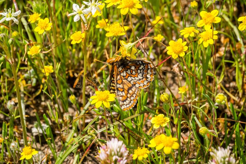 De vlinder van baaicheckerspot (bayensis van Euphydryas Editha) op goudveldwildflowers; geclassificeerd als federaal bedreigde sp stock fotografie