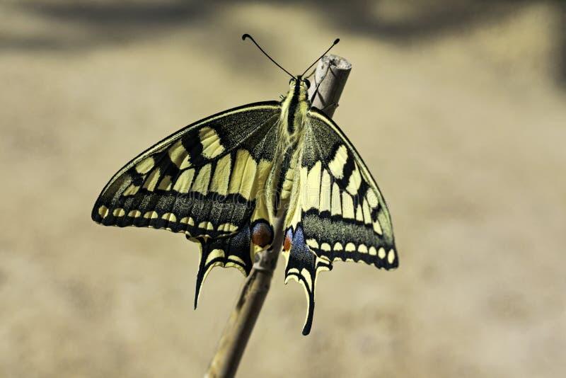 De Vlinder van babyswallowtail vlak vóór Eerste Vlucht stock foto