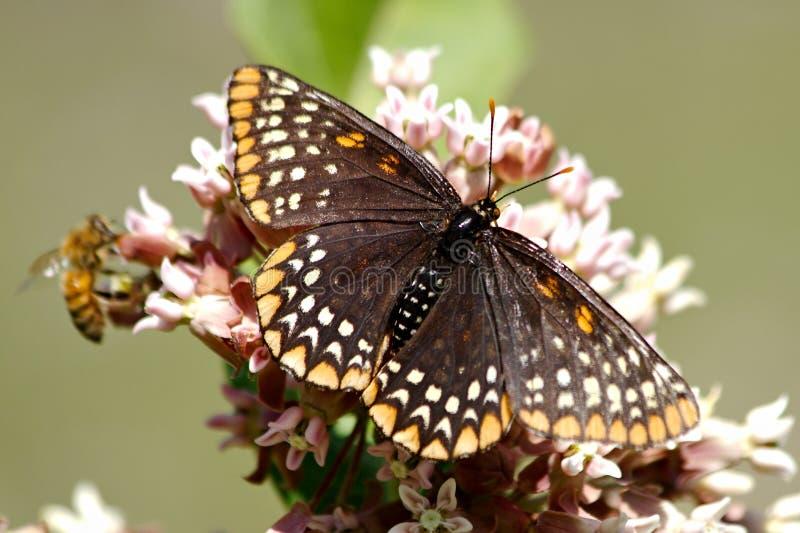 De Vlinder van Baltimore Checkerspot stock afbeelding