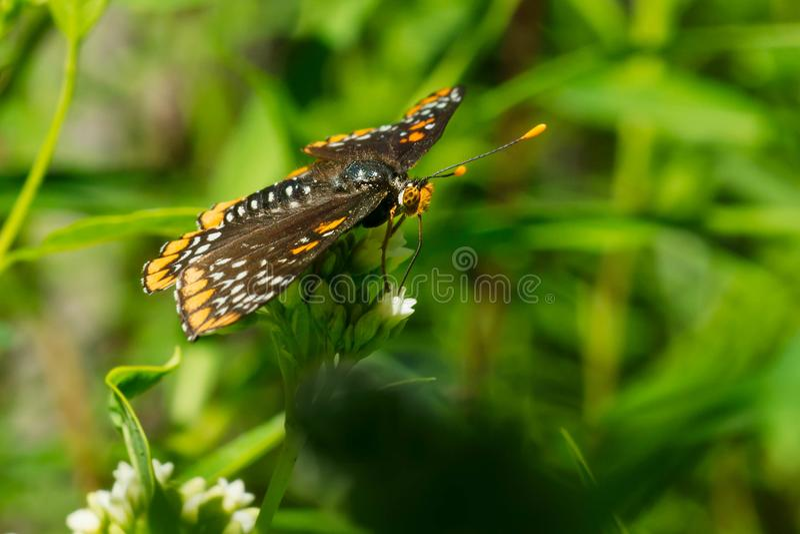 De Vlinder van Baltimore Checkerspot royalty-vrije stock fotografie