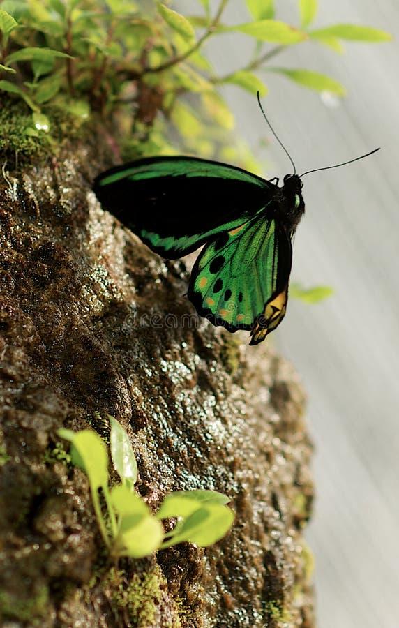 De Vlinder van Birdwing royalty-vrije stock afbeeldingen