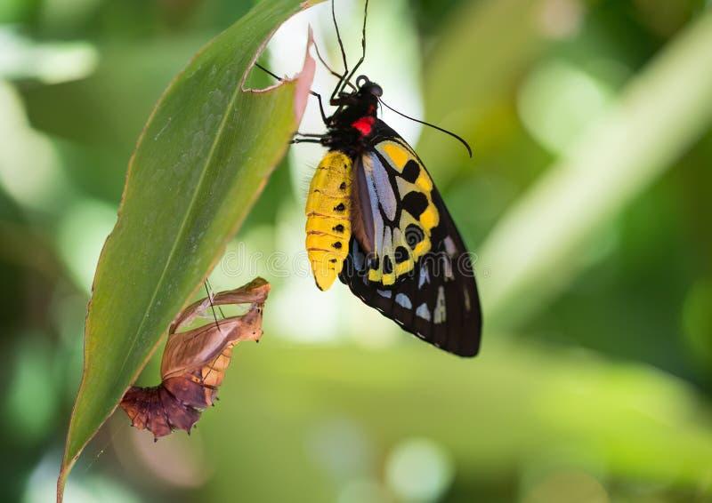 De Vlinder van Birdwing van steenhopen stock foto