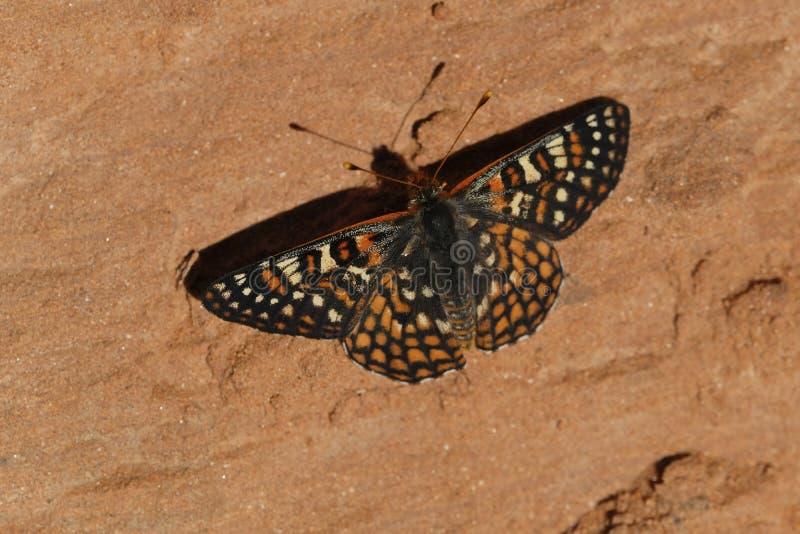 De Vlinder van Chalcedoncheckerspot stock fotografie